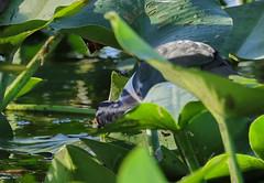 11-12-18-0041936 (Lake Worth) Tags: animal animals bird birds birdwatcher everglades southflorida feathers florida nature outdoor outdoors waterbirds wetlands wildlife wings