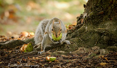 Autumnal delights (jo.angell) Tags: squirrel concker horse chestnut wildlife wild nature autumn tree