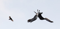 The Swallow And The Osprey (trekok, enjoying) Tags: 3c8a5406