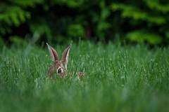 Bunny (rafoparkerm) Tags: bunny animal cute closeup pentaxk3 rabbit grass green