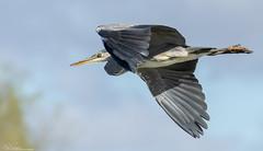 Incoming Grey Heron (Steve (Hooky) Waddingham) Tags: animal bird british countryside coast flight fishing wild wildlife