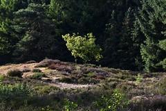 Junge Eiche im Loher Gehege; Lohe-Föhrden (56) (Chironius) Tags: baum bäume tree trees arbre дерево árbol arbres деревья árboles albero árvore ağaç boom träd schleswigholstein deutschland germany allemagne alemania germania германия niemcy coniferales pinaceae wald loheföhrden forest forêt лес bosque skov las landschaft koniferen kieferngewächse rosids fabids buchenartige fagales buchengewächse fagaceae eiche quercus stieleiche oak chêne дуб roble quercia rovere ek carvalho meşe eik deutscheeiche quercusrobur asterids heidekrautartige ericales heidekrautgewächse ericaceae