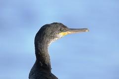IMG_0442 Cormorán, Mallorca (Fernando Sa Rapita) Tags: mallorca sarapita canon canoneos eos200d tamron tamron150600 teleobjetivo cormoran cormorant corbmari phalacrocorax ave bird