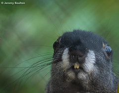Nervousness (JKmedia) Tags: squirrel animal rodent chesterzoo boultonphotography 2018 thirds teeth eyes whiskers furry