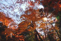 Shades Of Orange (arbivi) Tags: autumn fall foliage koyo momiji japanese maple tree red orange bridge koishikawakorakuen garden iidabashi tokyo japan canon 60d tamron arbivi raymondviloria