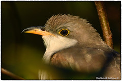 Yellow-billed Cuckoo Portrait. View Large (RKop) Tags: raphaelkopanphotography armlederpark cincinnati ohio cuckoo d500 nikon wildlife