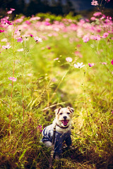 In the Field of Flowers (moaan) Tags: tanba hyogo japan jp dog jackrussellterrier kinoko autumn filedofflowers cosmostflower excursion littleexcursion october day fineday vertically focusonforeground selectivefocus depthoffield sof nature naturephotography leica leicamp type240 noctilux 50mm f10 leicanoctilux50mmf10 utata 2018