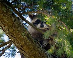 raccoon (kevin.boyd) Tags: raccoon bandit view royal victoria bc canada tree branch branches fur nose eye peeking hiding fauna trash panda