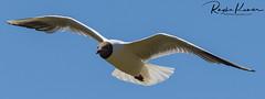Wildlife in England (rvk82) Tags: 2018 birds england july july2018 kent nikkor200500mm nikon nikond850 rvk rvkphotography raghukumar raghukumarphotography wildlife rvkonlinecom rvkphotographycom rvkphotographynet broomfield unitedkingdom gb