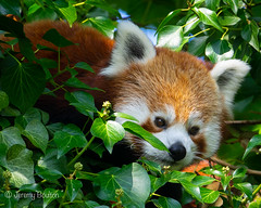 Red Bear Cat (JKmedia) Tags: red panda chesterzoo ailurusfulgens bear cat boultonphotography sonyrx10iii 2018