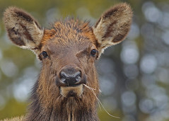 Elk...#15 - up close and personal (Guy Lichter Photography - 4.2M views Thank you) Tags: elk canon 5d3 canada alberta banff bnp wildlife animal animals mammal mammals