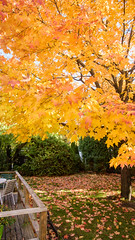 Bed of maple leaves (caribb) Tags: 2018 abstract fall autumn color colour colorful colourful pretty nature garden sunny bright leaves fallleaves mapleleaves mapleleaf yellow canada