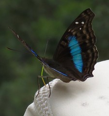 Doxocopa laurentia (Birdernaturalist) Tags: apaturinae bolivia butterfly lepidoptera nymphalidae richhoyer