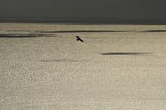 Indian Black Eagle in Kenting National Park (mattlaiphotos) Tags: shedingnaturepark kenting nationalpark taiwan indianblackeagle eagle raptor wildlife nature predator soar flight sea ocean silhouette birdwatching 社頂 墾丁 林雕