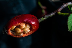 Hagebuttensamen (robert.pechmann) Tags: hagebutte frucht rosacanina heckenrose macro makro