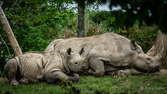 Mother and Child (JKmedia) Tags: rhino chester zoo chesterzoo boultonphotography 2018 animal mother child young