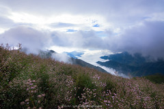 Wid flowers (langthangdaydo) Tags: flower forest fog foggy flowers floral flora wildflowers cloud cloudy clouds cloudscape mountain mountains mountainside hill nature