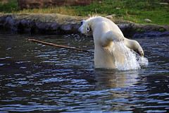 Eisbär (Michael Döring) Tags: gelsenkirchen bismarck zoomerlebniswelt zoo eisbär nanook afs70200mm28g d800 michaeldöring