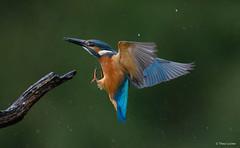 IJsvogel - Kingfisher - Alcedo atthis-2689 (Theo Locher) Tags: alcedoatthis kingfisher ijsvogel martinpecheur eisvogel birds vögel vogels oiseaux netherlands nederland copyrighttheolocher