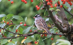 """*  White-crowned Sparrow-bruant à couronne blanche """" (ricketdi) Tags: bruantacouronneblanche zonotrichialeucophrys whitecrownedsparrow coth specanimal coth5 ngc npc"""