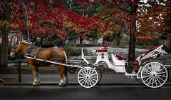 Autumn's Cinderella (Christie : Colour & Light Collection) Tags: horse horseandcart autumn magical fairytale horseandbuggy cinderellacarriage horseandcarriage love romance romantic royal clydesdale fall seasonal cinderella outdoors leaves seasonchanges princess prince pull nikkor nikon enchanted enchanting leaf mapletrees autumncolours fallcolours fallcolors changingontheseasons tree park white contrast horsedrawncarriage