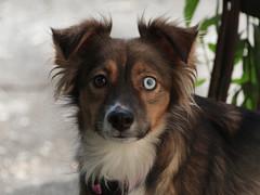 Mima (Dragan*) Tags: dog animal portrait eyes heterochromia outdoor pet