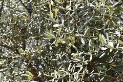 fullsizeoutput_8c75 (lnewman333) Tags: delphi greece europe tree olivetree olives sanctuaryofathenapronaia athena goddess greekmythology archaeologicalsite ancient historic ruins archaeology mountparnassus delphoi