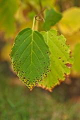 Witch Hazel (pstenzel71) Tags: blätter natur pflanzen samyang135mm20 zaubernuss hamamelis darktable herbst autumn fall witchhazel bokeh
