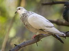 Almost white (hedera.baltica) Tags: pigeon dove rockdove urbanpigeon feralpigeon gołąb gołąbmiejski gołąbskalny columbalivia columbaliviafurbana