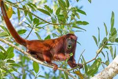 --Red howler monkey- Hurleur roux ..Amazonia Peru (geolis06) Tags: geolis06 pérou peru perú amériquedusud southamerica manu amazonie amazonia rainforest jungle forêt forest madrededios biospherereserve parcnationaldemanú manúnationalpark 2016 patrimoinemondial unesco unescoworldheritage unescosite pantiacollatour nikon nikond7200 sigma sigma150600mmf563dgoshsmcontemporary primate monkey singe alouattaseniculus redhowlermonkey hurleur roux hurleurroux