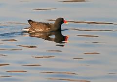 Moorhen (2) (grahamh1651) Tags: marazion longrockpool birds waterbirds swans mountsbay grebes