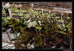 Cladonia chlorophaea (cquintin) Tags: fungi lichen ascomycota lecanoromycetes lecanorales cladoniaceae cladonia chlorophaea