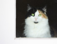 Looking out, looking in (WinRuWorld) Tags: cat pet domesticcat greeneyes catportrait patience eyes felidae carnivore mammal animal fauna housecat feliscatus canon canonphotography calico lookingout watching waiting emotive dof depthoffield pensive