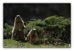 Marmottes (Pascale Ménétrier Delalandre) Tags: marmotte marmota mammifèrefouisseur rongeurs tamron150600mmdivcusd canoneos7d faune pascaleménétrierdelalandre hautespyrénées france extérieur animal