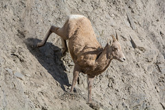 Down 'ewe' go (ChicagoBob46) Tags: rockymountainbighornsheep bighornsheep sheep ewe yellowstone yellowstonenationalpark nature wildlife coth5 ngc naturethroughthelens npc
