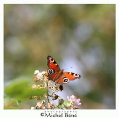 dans le marais... (gimi.bene) Tags: papillon butterfly macro macroinsectes proxy profondeurdechamp planrapproché grosplan marais maraisdegoulaine sigma105mm canoneos