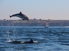 Grands dauphins (Maud Douay) Tags: dauphins dolphins tursiops truncatus delphineau dauphineau baby jump saut éoliennes mer iroise bretagne finistere molene ailerons dorsales mammifères marins cetacés cetacean archipel