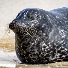 18A_1266-Edit (Mark Ritter) Tags: seal seals macro lajolla california