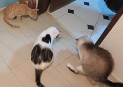 402-July'18 (Silvia Inacio) Tags: mel tabby gata gatos cat cats martini gato soneca kitten