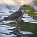 Mrs Sparrowhawk