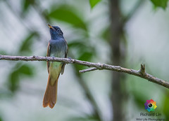 asian Paradise Flycatcher-1 (richardbright81) Tags: wild life rubby kingfisher flycatcher
