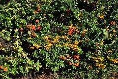 DSC_2025 (PeaTJay) Tags: nikond750 reading lowerearley berkshire macro micro closeups gardens outdoors nature flora fauna plants flowers bushes shrubs