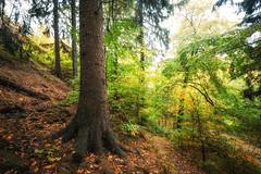 Schöner Herbstwald (Gruenewiese86) Tags: harz nebel regen wald waldlandschaft bäume herbst buche riesig fauna baumkronen wälder wachsen baumstamm landschaftlich sauerstoff stimmungsvoll äste stark zweige hoch landschaft sommer öko sonne natur buchenwald flora luft heimat umwelt verzweigt jahreszeit wetter wirtschaft rinde licht naturbild schönesstamm frühling filter blatt gros wachstum netzwerk forst entspannung baum holz froschperspektive baumkrone