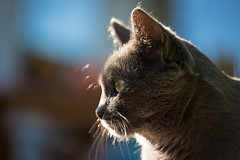 Siva in the sun (explored) (Jana`s pics) Tags: katze katzen katzenauge cat cats cateye portrait stubentiger haustier hauskatze pet animal tier tierfotografie animalphotography greycat outdoor drausen sonnenschein sunlight sun sonne furfriend samtpfote velvetpaws