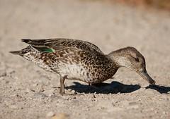 teal (PhotoLoonie) Tags: duck teal waterbird wildlife nature