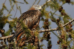 Red Kite (Milvus milvus) (Fly~catcher) Tags: milvus red kite cones pine tree bird prey yorkshire