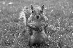 """What do you mean, you've processed me in Black and White?"".... (markwilkins64) Tags: squirrel squirrels nature wildlife markwilkins mono monochrome blackandwhite bw grass bokeh blur"