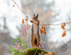 red squirrel leaning on a branch with dried flowers (Geert Weggen) Tags: animal autumn bright bud cheerful closeup cute flower foodanddrink horizontal humor land lightnaturalphenomenon mammal moss mushroom nature perennial photography plant red rodent springtime squirrel summer sweden fun fight fall couple young heath branch leaves reach camouflage rock top above high up lupine bispgården jämtland geert weggen seweden ragunda