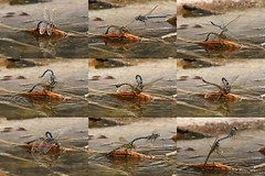 IMG_6707a (niek haak) Tags: dragonfly dragonflies odonata libel aeshnamixta paardenbijter copula mating paring tandem