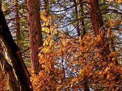 Autumn in Yosemite (morroelsie) Tags: yosemite yosemitevalley autumn fallcolors fallfoliage morroelsie